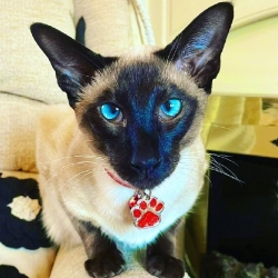 Check out this cute cat styling out our glitter paw tag in red we love it!! Www.petidtagsexpress.co.uk #cattag #cattags #catidtags #catsofinstagram